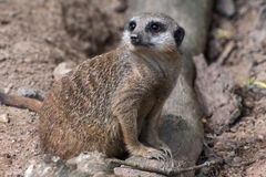 A Meercat  Suricata Surrcatta Royalty Free Stock Photography