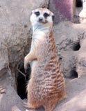 Meercat vaarwel stock afbeelding
