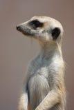 Meercat von der Seite Lizenzfreie Stockfotos