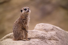 Meercat is watching Stock Image