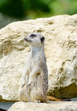 Meercat watching Stock Photos