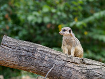 Meercat in zoo Stock Photos