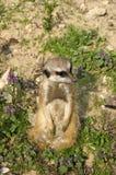 Meercate在动物园,布拉索夫里 库存图片