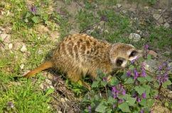 Meercate在动物园,布拉索夫里 免版税库存照片