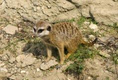 Meercate在动物园,布拉索夫里 图库摄影