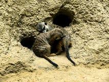 Meercats в Берлине Германии Стоковая Фотография