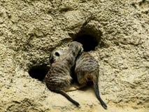 Meercats в зоологических садах и аквариуме в Берлине Германии Зоопарк Берлина посещать зоопарк в Европе, Стоковые Фотографии RF