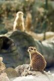 meercats二 库存照片