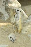 Meercats Imagen de archivo libre de regalías