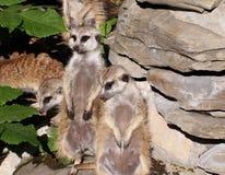 Meercats Стоковое Изображение RF