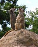 Meercats Lizenzfreies Stockfoto
