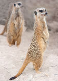 Meercats on the alert Royalty Free Stock Image