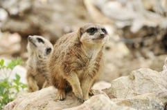Meercats allo zoo Fotografia Stock