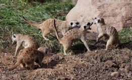 Meercats Bawić się Zdjęcia Royalty Free