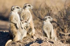 Meercats drying nails Stock Photos