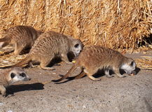 Meercats Eating Royalty Free Stock Image