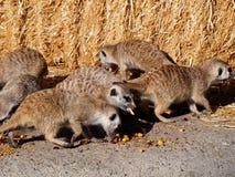Meercats Essen Lizenzfreie Stockfotos