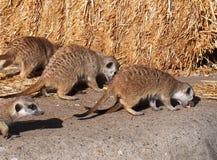 Meercats Essen Lizenzfreies Stockbild