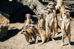Meercats family looking Royalty Free Stock Photos