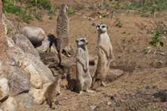 Meercats group. Meercats in the Moscow zoo Royalty Free Stock Images