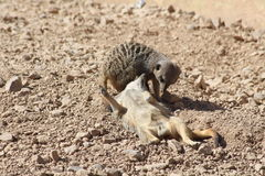 Meercats. Two meercats playing in the desert Stock Photo