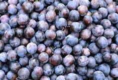 Meerderheid van de blauwe vruchten van doornenpruimen stock foto