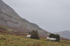Meerdistrict, Cumbria - weiden, heuvels en schapen op een sombere dag royalty-vrije stock foto's