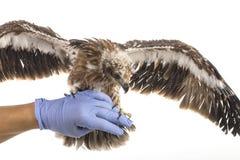 Meeres-Eagle auf der Hand des Tierarztes bereiten sich zum Prüfungsflügel vor Stockbild