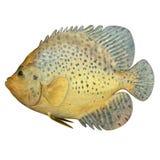 Meeresfisch stockbild