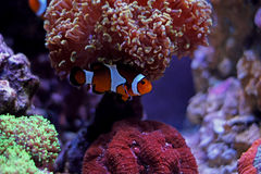 Meeresfisch Lizenzfreie Stockfotografie
