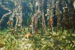 Meeresflora und -fauna auf der Mangrove wurzelt unter Wasser Stockfotografie