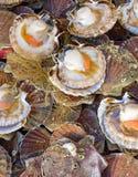 Meeresfrüchte: Kamm-Muschel lizenzfreies stockbild