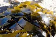 Meerespflanze Stockfotografie