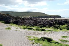 Meerespflanze auf Banthm-Strand Stockfotos