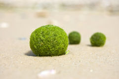 Meerespflanze auf dem Sand Lizenzfreies Stockfoto
