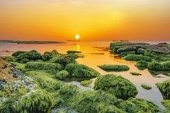 Meerespflanze auf Felsen Lizenzfreie Stockfotografie