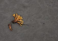 Meerespflanze auf Grey Beach mit Kopien-Raum Lizenzfreie Stockbilder