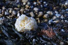 Meerespflanze auf Pebble Beach lizenzfreies stockfoto