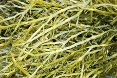Meerespflanze der Familie ein Fucus (Fucaceae) Stockbilder