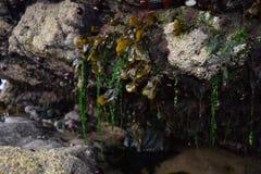 Meerespflanze, die von den Felsen auf einem Strand hängt Stockbilder