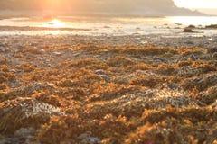 Meerespflanze im Vordergrund in Maine als den Sonnenaufgängen entlang dem Horizont Lizenzfreie Stockfotos
