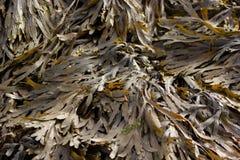 Meerespflanze in Saltdean, Brighton Lizenzfreie Stockfotografie