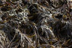 Meerespflanze in Saltdean, Brighton Lizenzfreies Stockfoto