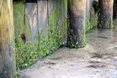 Meerespflanze und Algen auf hölzernem Pier Lizenzfreie Stockbilder