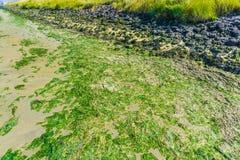 Meerespflanze und Felsen auf dem Strand Stockbild