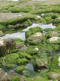 Meerespflanze und Kelp lizenzfreies stockfoto