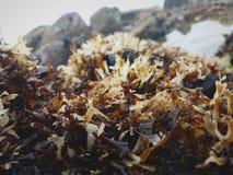 Meerespflanze und Meeresflora und -fauna zwischen Felsen und Salzwasser stockfotografie