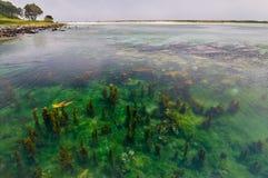 Meerespflanzen auf Cies-Inselküste Vigo, Spanien Lizenzfreie Stockfotografie