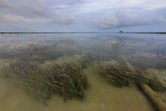 Meerespflanzen unter seichtem Wasser bei Borneo Stockbild