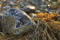 Meerespflanzennahaufnahme in Maine an der Dämmerung unter Felsen und Rankenfußkrebsen Stockfotografie